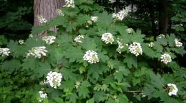 Hydrangea Quercifolia Photo#1