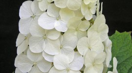 Hydrangea Quercifolia Wallpaper For IPhone