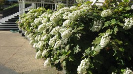 Hydrangea Quercifolia Wallpaper Free