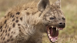 Hyena Desktop Wallpaper HD