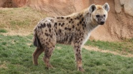 Hyena High Quality Wallpaper
