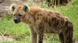 Hyena Wallpaper Download Free