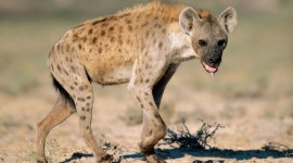 Hyena Wallpaper Free