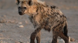 Hyena Wallpaper Gallery