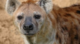 Hyena Wallpaper High Definition
