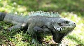 Iguana Wallpaper 1080p