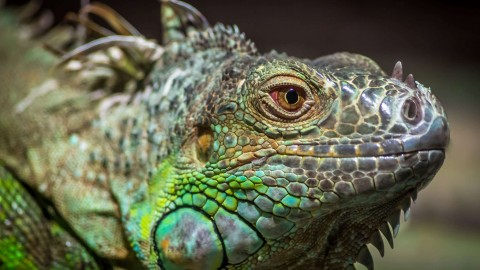 Iguana wallpapers high quality