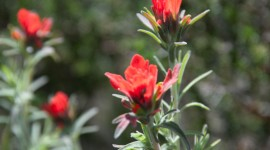 Indian Paintbrush Desktop Wallpaper HD