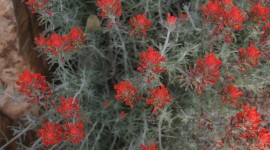 Indian Paintbrush Wallpaper