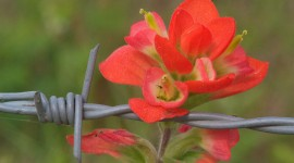 Indian Paintbrush Wallpaper For PCIndian Paintbrush Wallpaper For PC