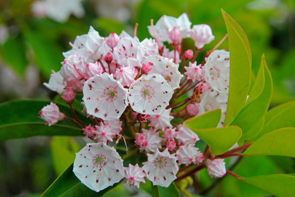 Kalmia Latifolia wallpapers HD