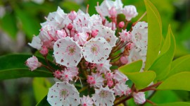 Kalmia Latifolia Best Wallpaper