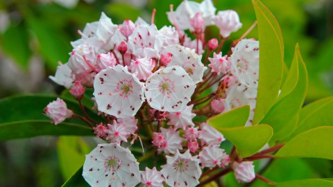 Kalmia Latifolia wallpapers high quality