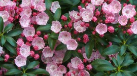 Kalmia Latifolia Photo