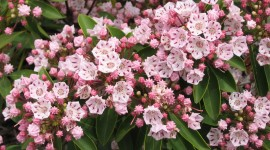 Kalmia Latifolia Photo Free