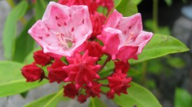 Kalmia Latifolia Wallpaper Download