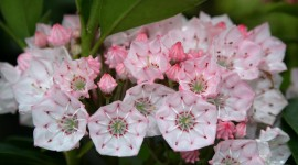 Kalmia Latifolia Wallpaper For Desktop
