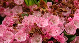 Kalmia Latifolia Wallpaper For IPhone
