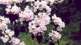 Kalmia Latifolia Wallpaper Free