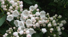 Kalmia Latifolia Wallpaper Full HD