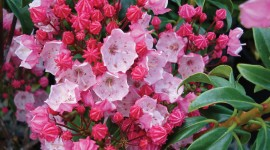 Kalmia Latifolia Wallpaper Gallery