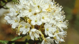 Ledum Palustre Wallpaper Download