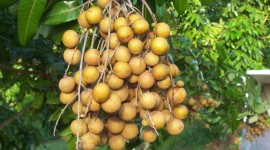 Longan Wallpaper Full HD