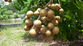 Longan Wallpaper HD
