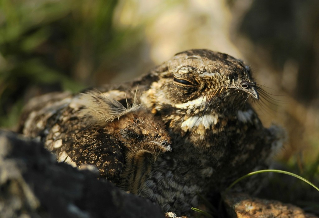 Nightjar wallpapers HD
