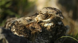 Nightjar Desktop Wallpaper For PC