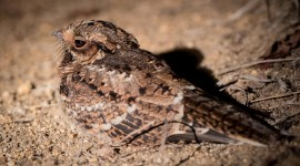 Nightjar Wallpaper