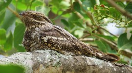 Nightjar Wallpaper Background