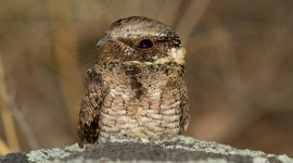 Nightjar Wallpaper Download Free