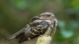 Nightjar Wallpaper Gallery
