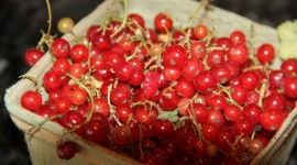 Red Currant Photo Download