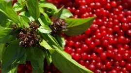 Red Currant Wallpaper Download