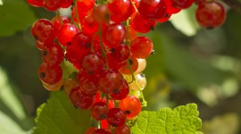 Red Currant Wallpaper For Android
