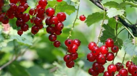 Red Currant Wallpaper Full HD