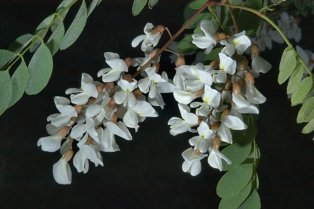 Robinia Pseudoacacia wallpapers HD