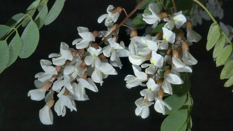 Robinia Pseudoacacia wallpapers high quality