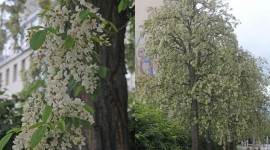 Robinia Pseudoacacia Pics