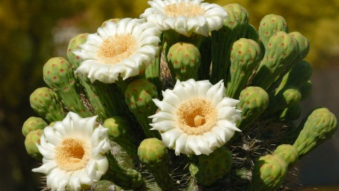 Saguaro Cactus Blossom wallpapers high quality