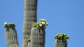 Saguaro Cactus Blossom For IPhone