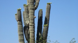 Saguaro Cactus Blossom For IPhone#1