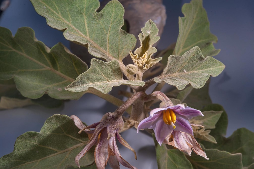Solanum Melongena wallpapers HD