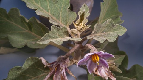 Solanum Melongena wallpapers high quality