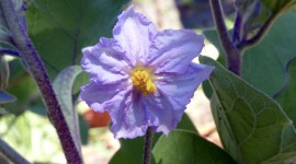 Solanum Melongena Photo