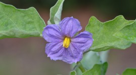 Solanum Melongena Wallpaper Gallery