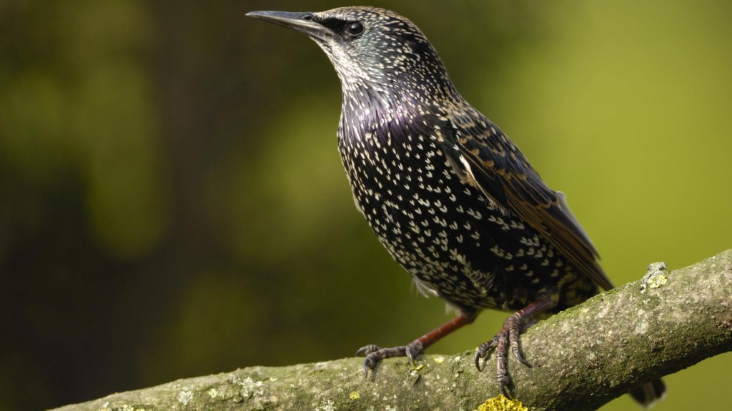 Starling wallpapers HD