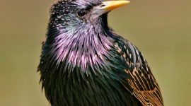 Starling Wallpaper For IPhone Free